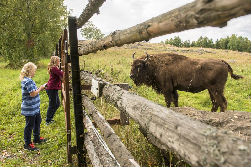 The bison park Avesta Visentpark, Dalarna